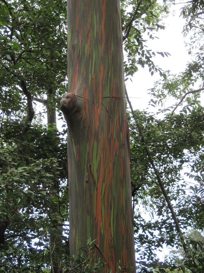 Maui Photograph - Painted Tree IIi by Paul Weiss