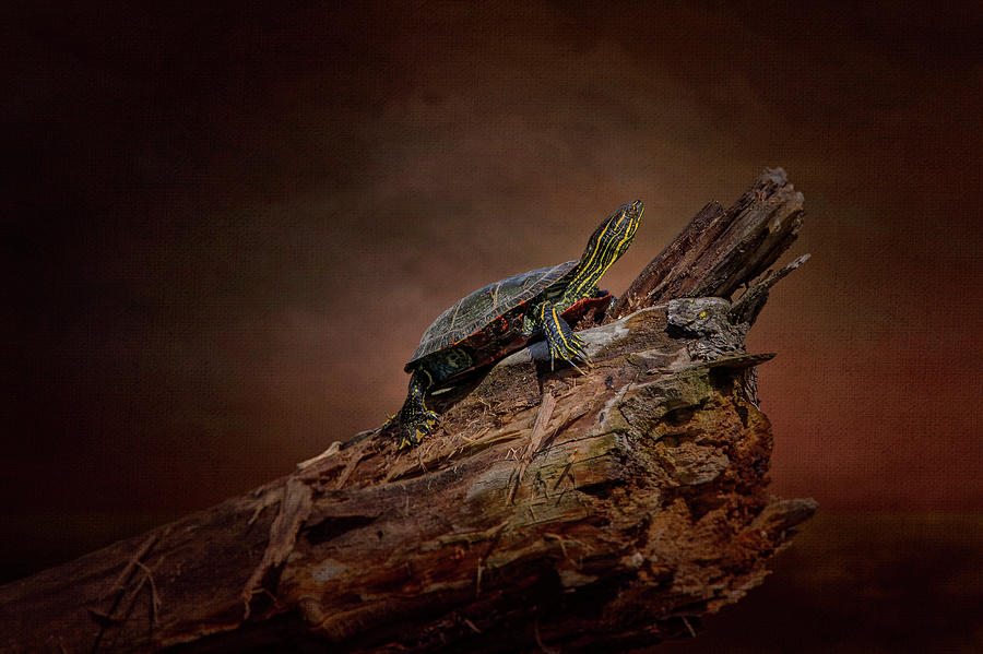 Painted Turtle by Al  Mueller