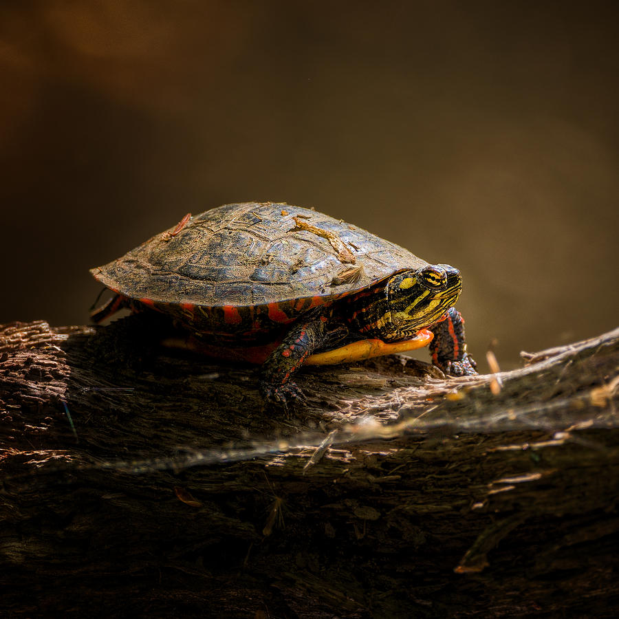 Turtle Photograph - Painted Turtle by Bill Wakeley