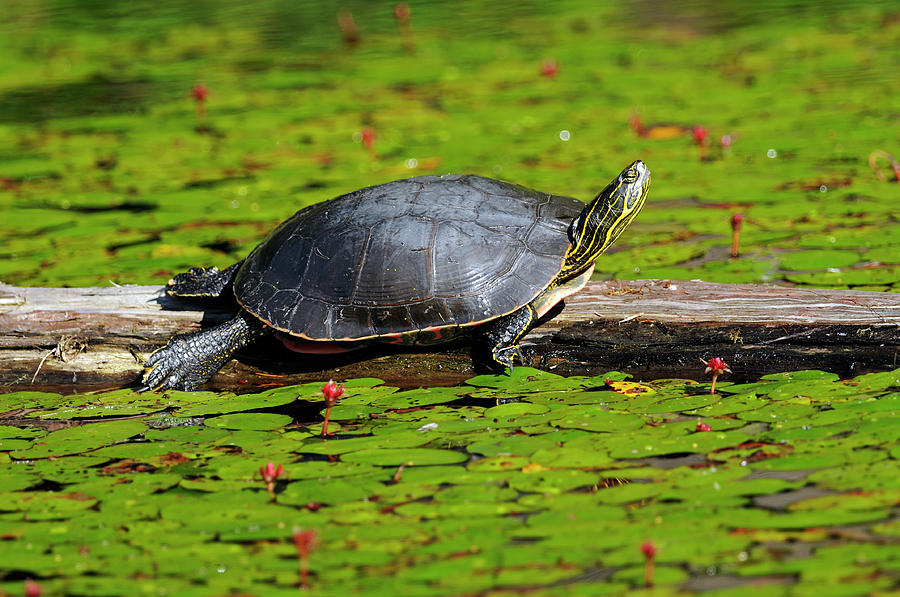 Painted Turtle on Log With Lily Pads by Sharon Talson