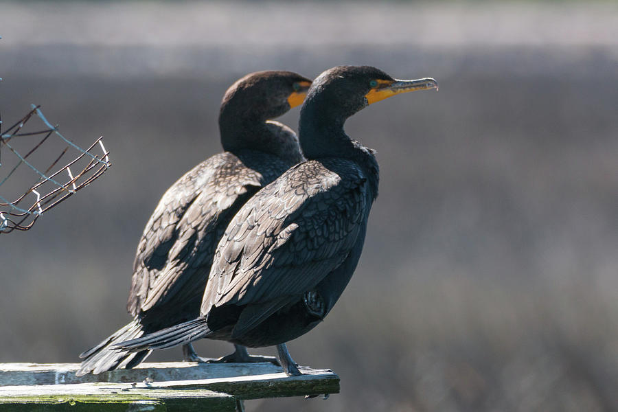 Pair Double-Crested Cormorant 3 March 2018 by D K Wall