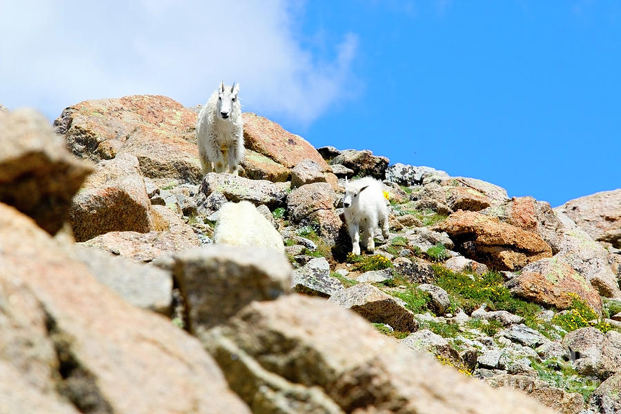 Pair Of Baby Mountain Goats Photograph