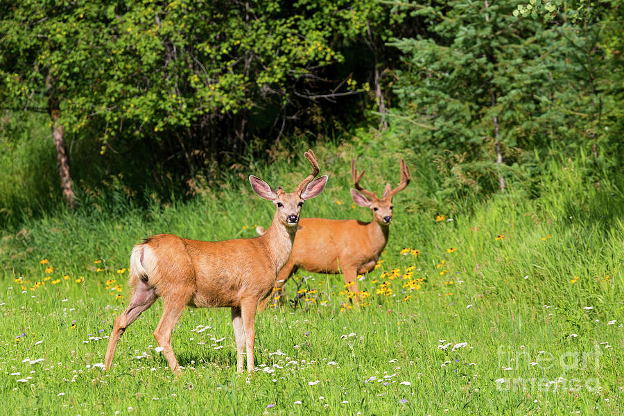 Pair Of Bucks Photograph