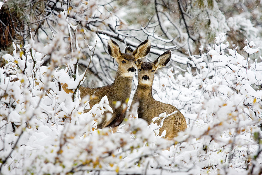 Pair Of Doe Mule Deer In Snow Photograph