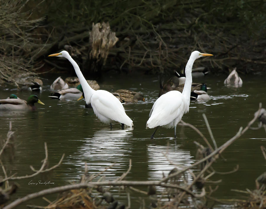 Egret Photograph - Pair Of Egrets by George Randy Bass
