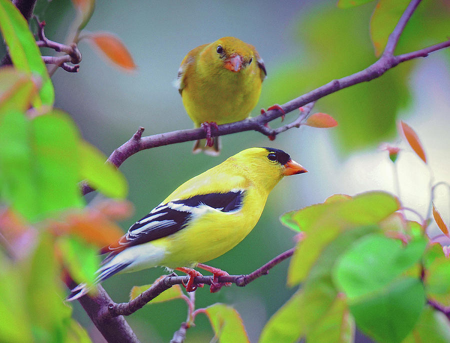 Pair of Goldfinches by Rodney Campbell