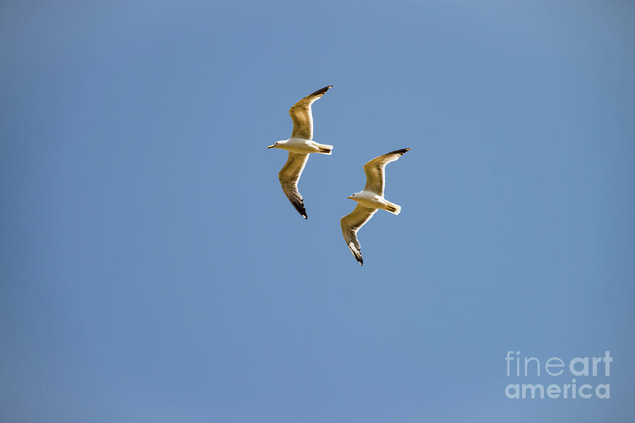 Princes Islands Photograph - Pair Of Herring Gulls by Bob Phillips