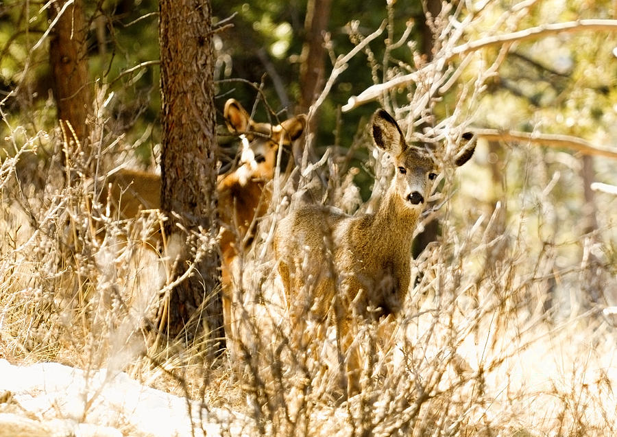 Pair Of Mule Deer Does In Winter Snow Photograph