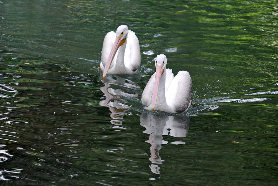 Blanton Photograph - Pair Of Pelicans by Teresa Blanton