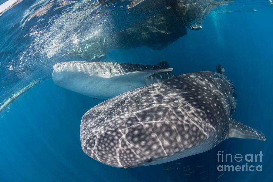 Pair Of Whale Sharks Barrelling Photograph