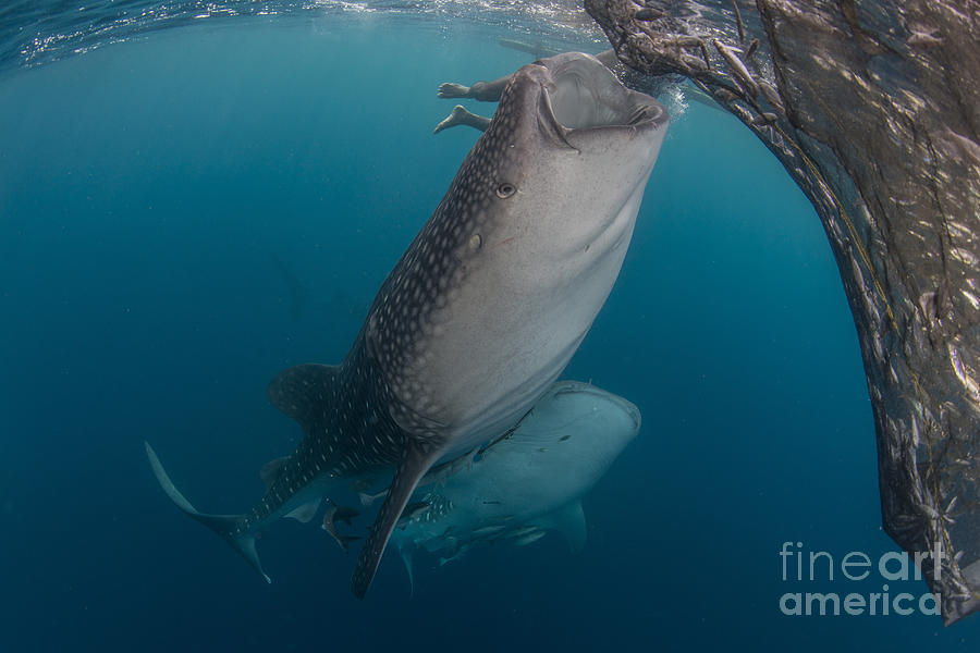Pair Of Whale Sharks Sucking At Fishing Photograph