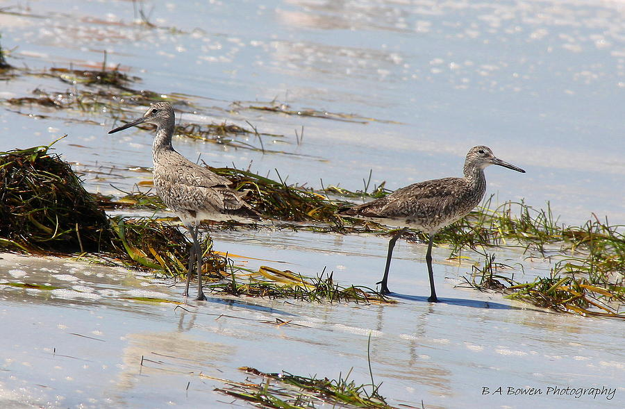 Willet Photograph - Pair Of Willets by Barbara Bowen