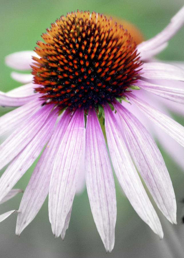 Flowers Photograph - Pale Grey by Marty Koch