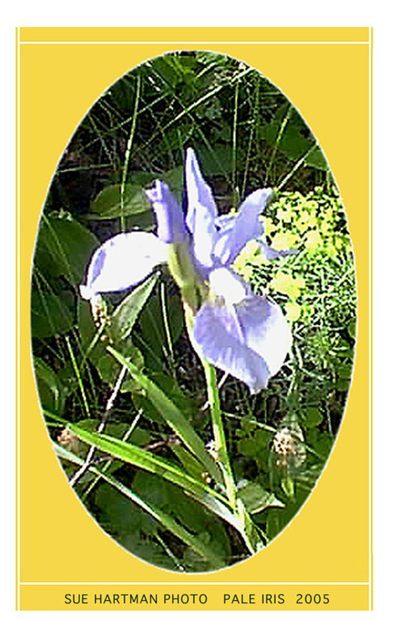 Pale Iris Photograph by Sue Hartman