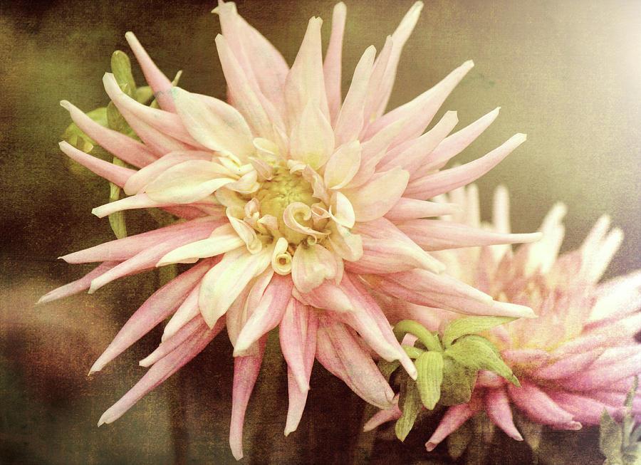 Pale Pink Dahlia by Jackie Farnsworth