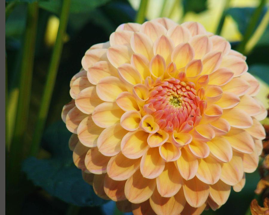 Flower Photograph - Pale Pink Dahlia by Rhianna Wurman