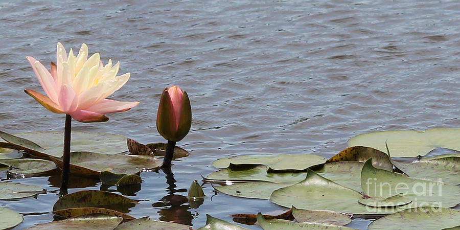Pale Pink Photograph - Pale Pink Lily and Bud by Vivian Bound