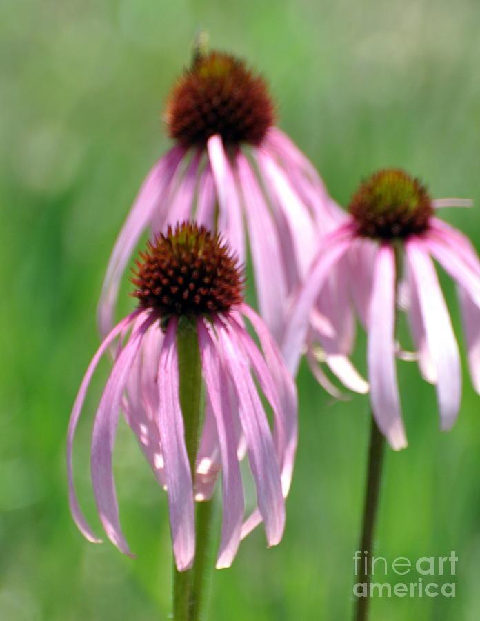 Flowers Photograph - Pale Purple by Marty Koch