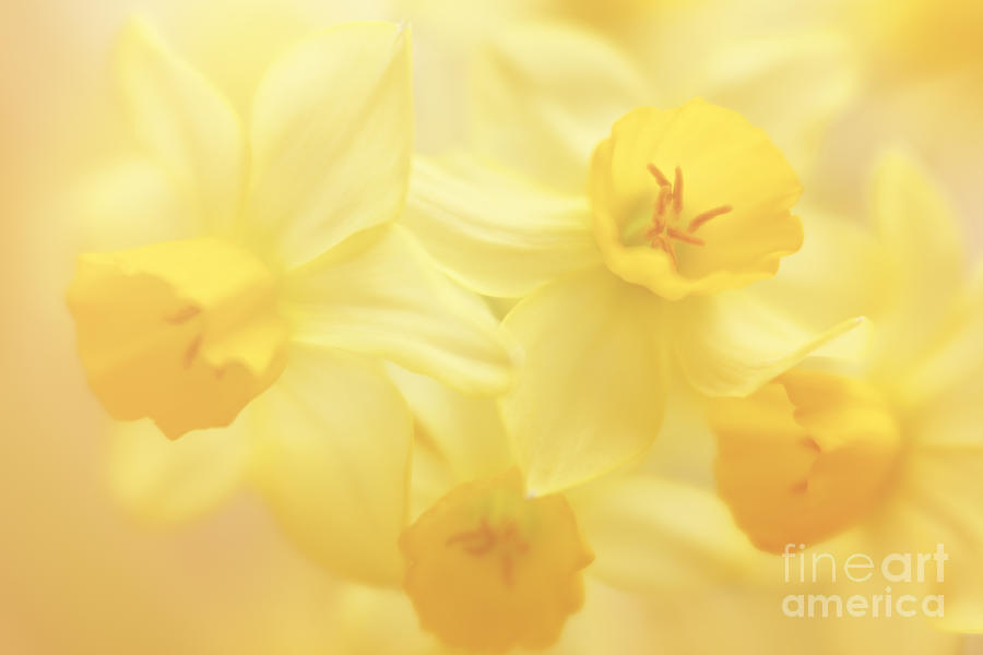 Palette Of Daffodils Photograph