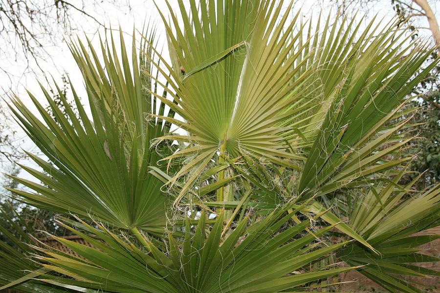 Bush Photograph - Palm Bush by Joshua Sunday