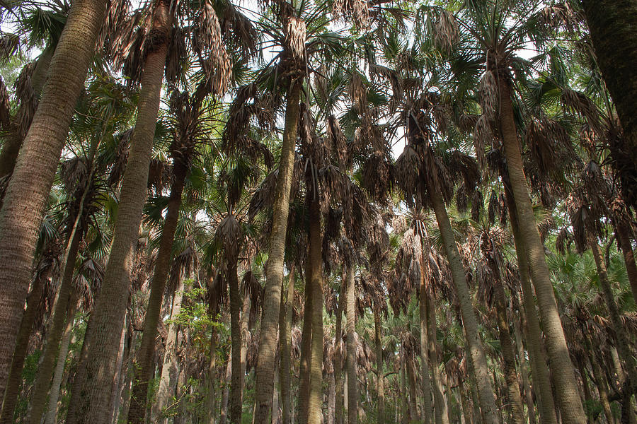Palm Cathedral Photograph