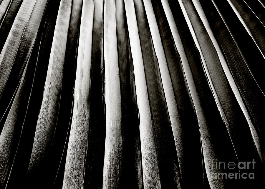Abstract Photograph - Palm Frond by Charmian Vistaunet