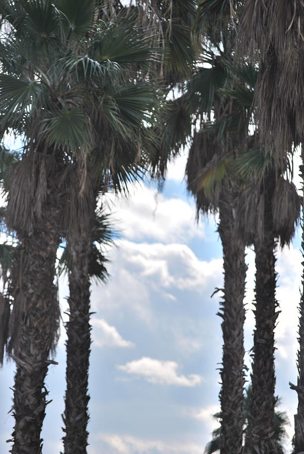 Trees Photograph - Palm by Jessica Saenz