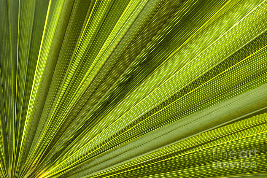 Leaf Photograph - Palm Leaf Abstract by Elena Elisseeva