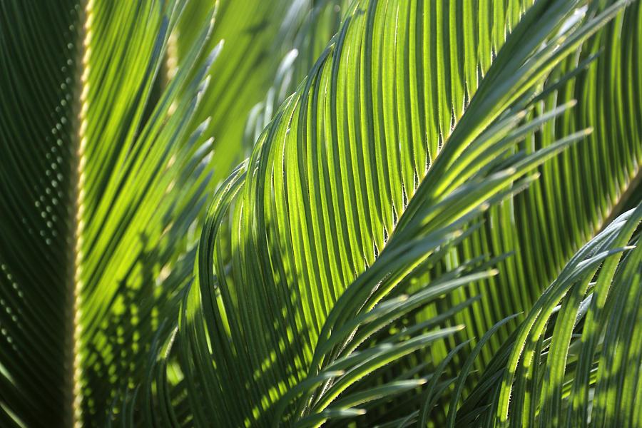 Palm Photograph - Palm Leaf by Phil Crean
