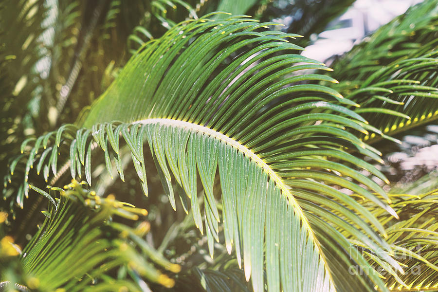 Palm Leaves Background Photograph