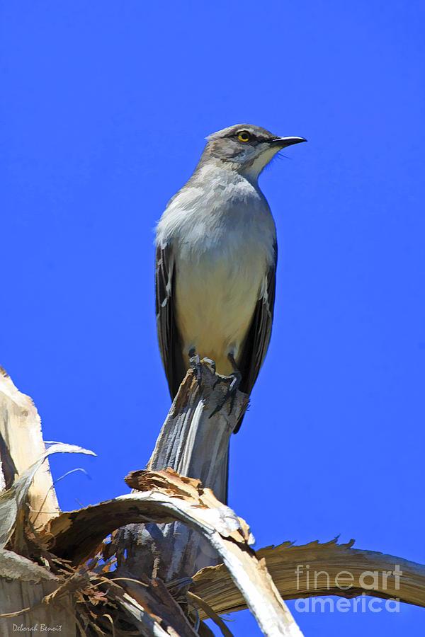 Bird Photograph - Palm Mocking Bird by Deborah Benoit