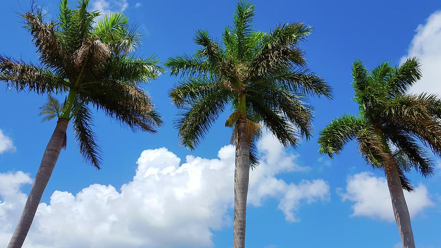 Palm Tree On A Blue Sky, Miami, Florida