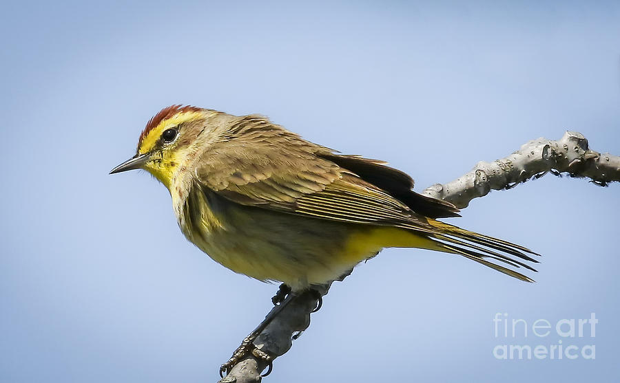 Canon Photograph - Palm Warbler  by Ricky L Jones
