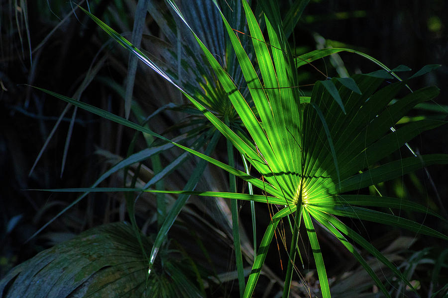 Image Photograph - Palmetto In Light by Ryan Stoddard