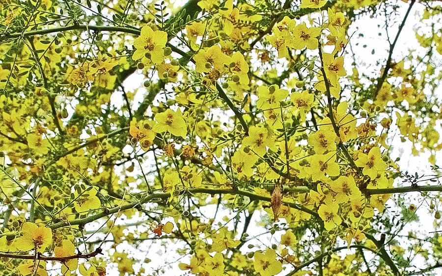 California Photograph   Palo Verde Tree In Rancho Santa Ana Botanic Garden  In Claremont California