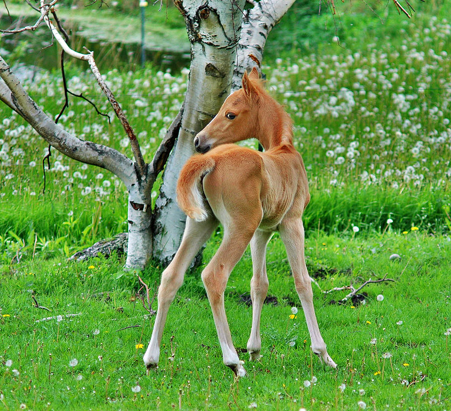 Horses Photograph - Palomino And Birch by Emily Stauring