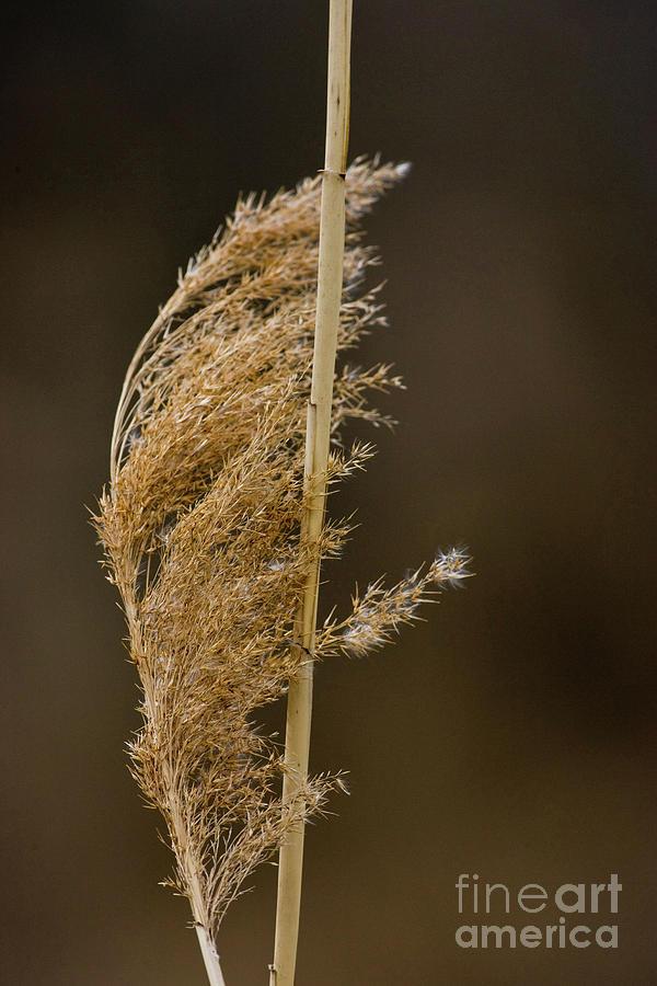 Beige Photograph - Pampas Grass by Alan Look