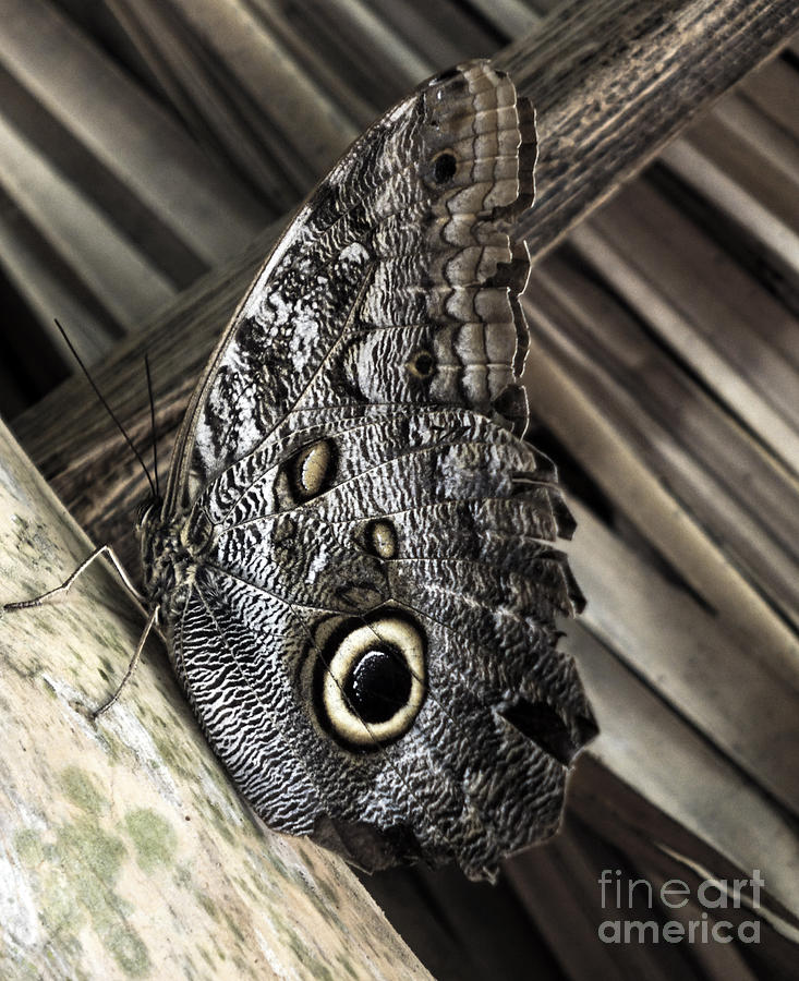Panama - Owl Butterfly Photograph