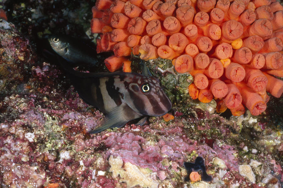 Sea Of Cortez Photograph - Panamic Fanged Blenny On Coral Reef by James Forte
