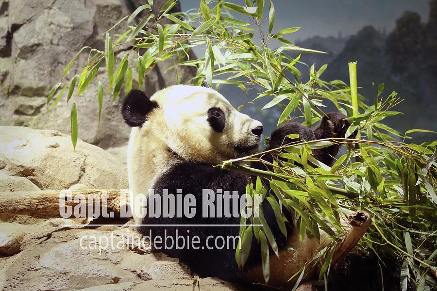 Panda Bear Photograph - Panda 6072 by Captain Debbie Ritter