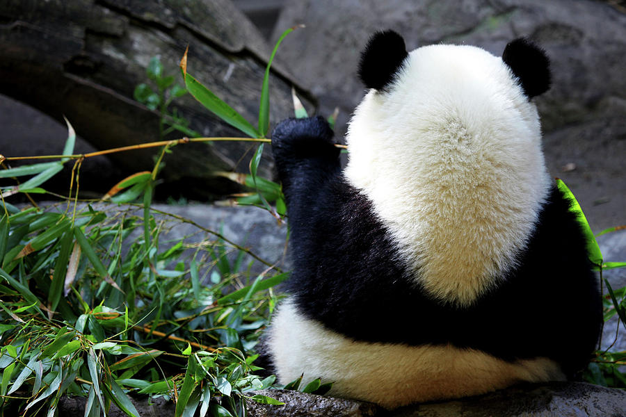 Panda Bear Photograph - Panda Bear Eating Bamboo by Dan Pearce