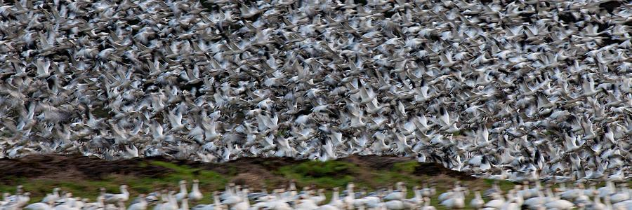 Wildlife Photograph - Panic Flight Pg030 by Yoshiki Nakamura