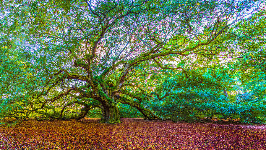 Panoramic Angel Oak Tree Charleston SC by John McGraw