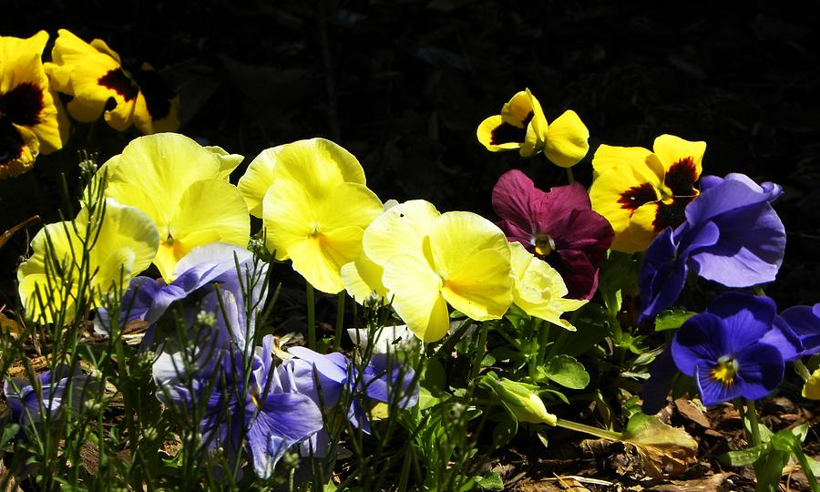 Flowers Photograph - Pansies by Cindy Gacha