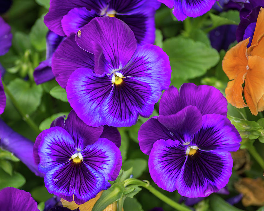 Flower Photograph - Pansies In Purple And Blue by Bill Pevlor