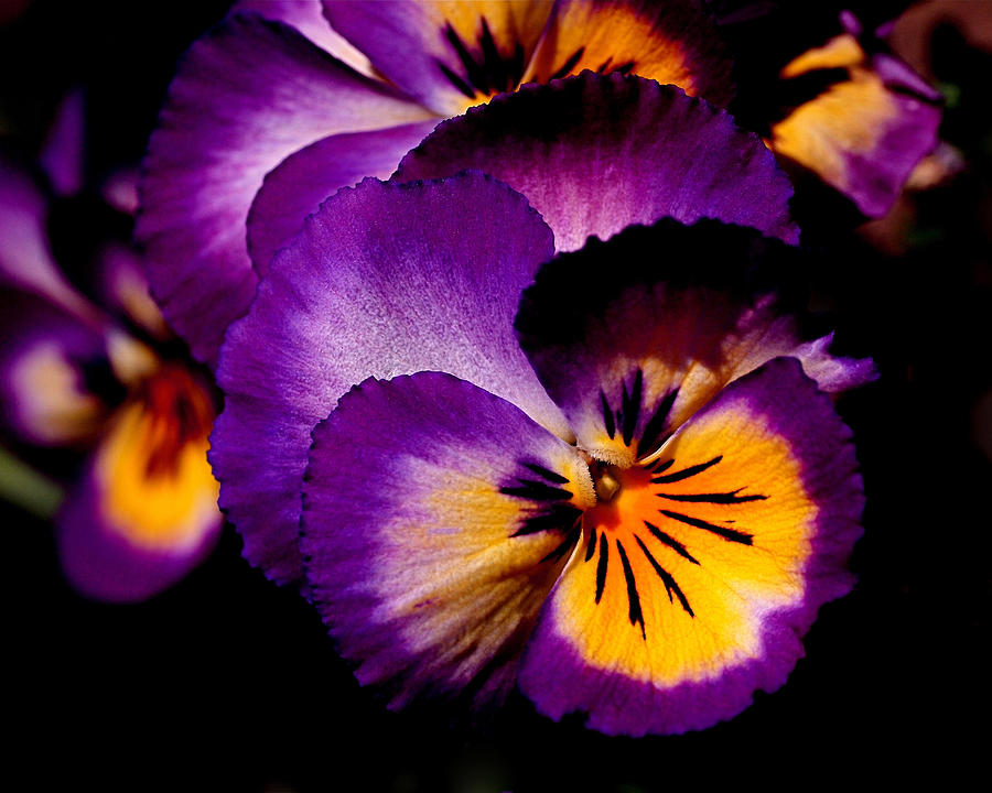 Pansies Photograph - Pansies by Rona Black