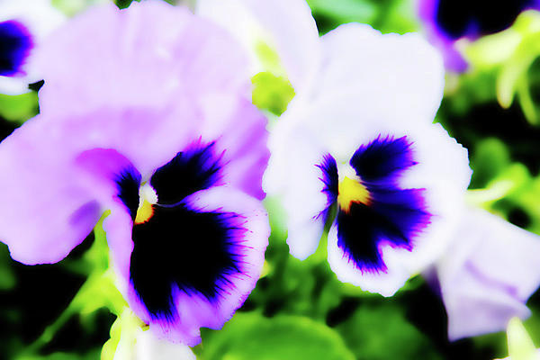 Pansies Photograph - Pansies  by Toni Hopper