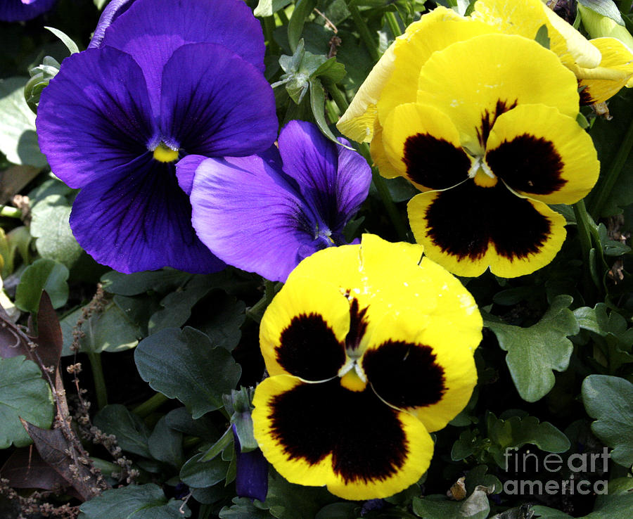 Pansy Boys by Paul Anderson