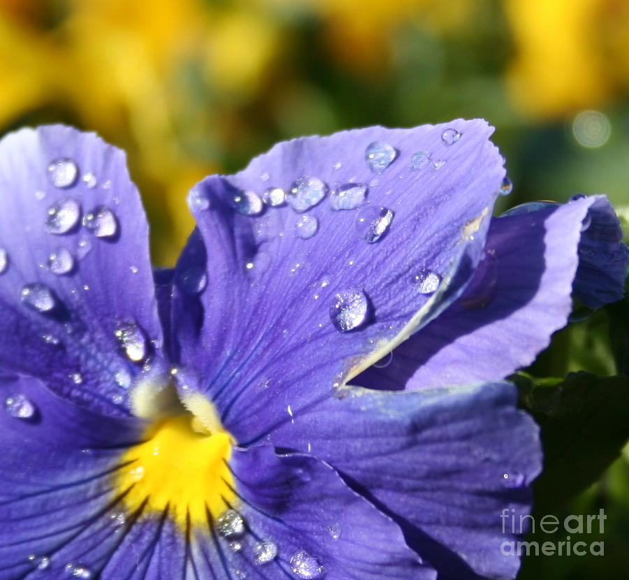 Pansy Face Photograph by Don Robson