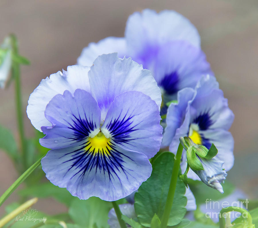 Pansies Photograph - Pansy Flowers by Diana Wind